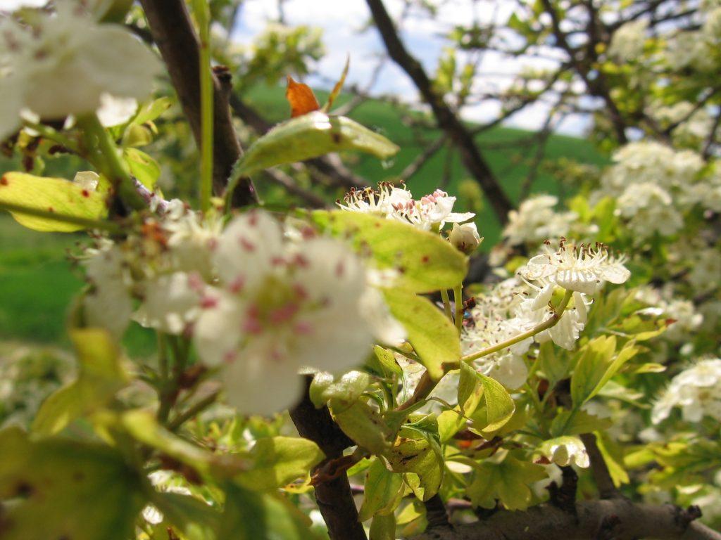 Bílé jarní květy